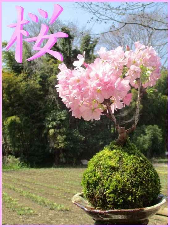 桜の苔玉を作り!春に開花を楽しみます。